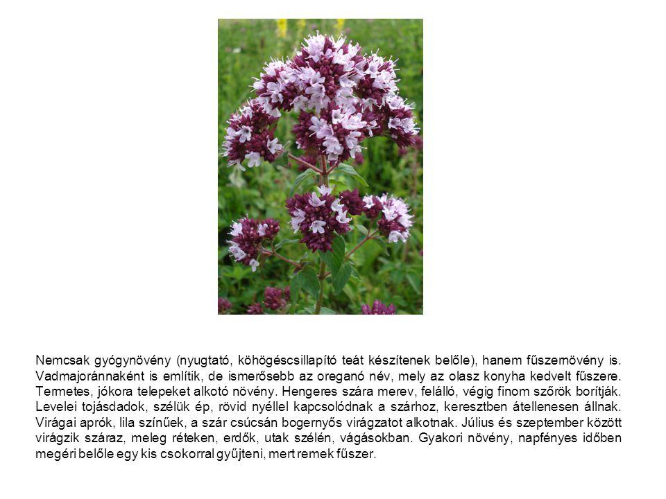 Nemcsak gyógynövény (nyugtató, köhögéscsillapító teát készítenek belőle), hanem fűszernövény is. Vadmajoránnaként is említik, de ismerősebb az oreganó