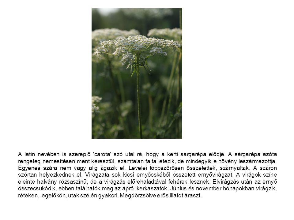 A latin nevében is szereplő 'carota' szó utal rá, hogy a kerti sárgarépa elődje. A sárgarépa azóta rengeteg nemesítésen ment keresztül, számtalan fajt