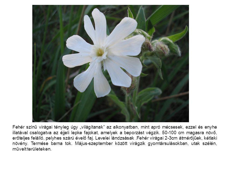 """Fehér színű virágai tényleg úgy """"világítanak"""" az alkonyatban, mint apró mécsesek, ezzel és enyhe illatával csalogatva az éjjeli lepke fajokat, amelyek"""