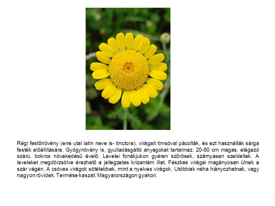 Régi festőnövény (erre utal latin neve is- tinctora), virágait timsóval pácolták, és ezt használták sárga festék előállítására. Gyógynövény is, gyulla