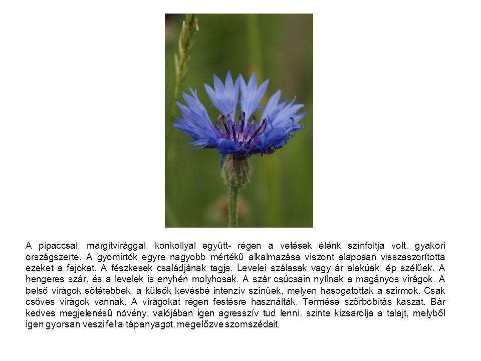 A pipaccsal, margitvirággal, konkollyal együtt- régen a vetések élénk színfoltja volt, gyakori országszerte. A gyomirtók egyre nagyobb mértékű alkalma