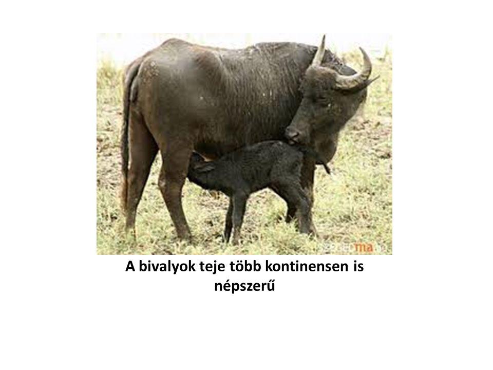 A bivalyok teje több kontinensen is népszerű