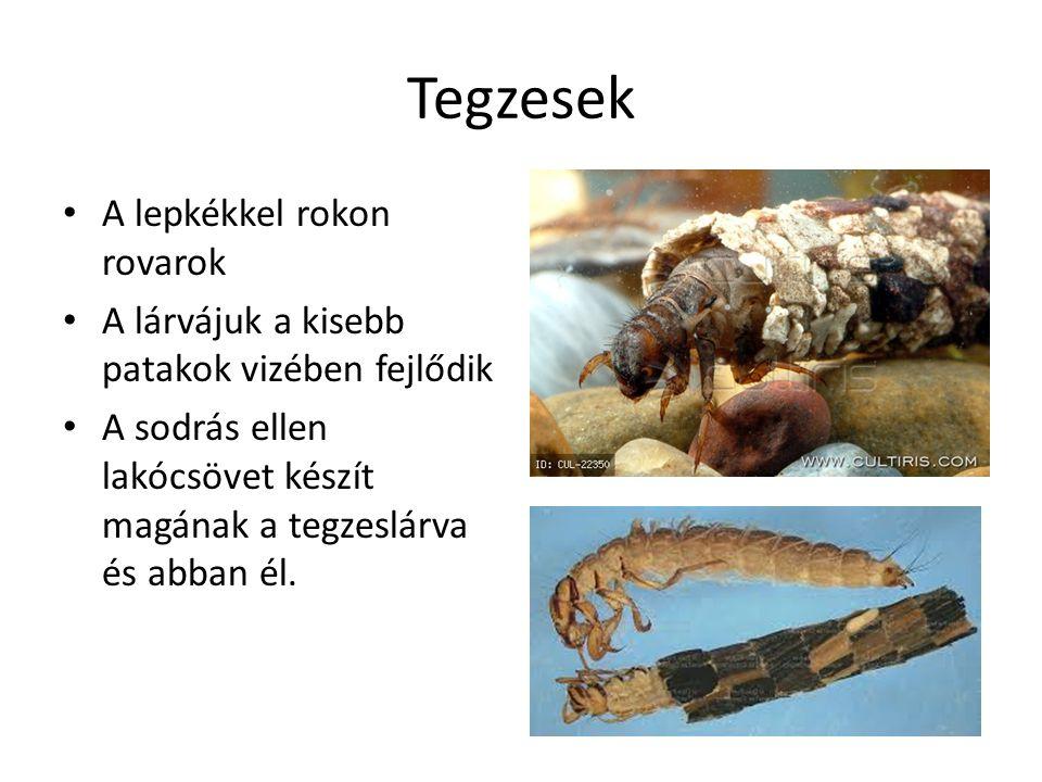 Tegzesek A lepkékkel rokon rovarok A lárvájuk a kisebb patakok vizében fejlődik A sodrás ellen lakócsövet készít magának a tegzeslárva és abban él.