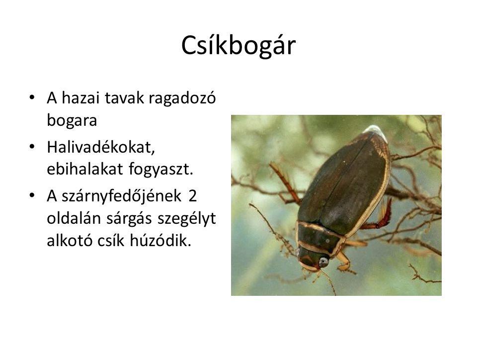 Csíkbogár A hazai tavak ragadozó bogara Halivadékokat, ebihalakat fogyaszt.