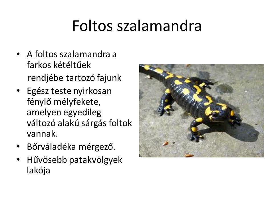 Foltos szalamandra A foltos szalamandra a farkos kétéltűek rendjébe tartozó fajunk Egész teste nyirkosan fénylő mélyfekete, amelyen egyedileg változó alakú sárgás foltok vannak.