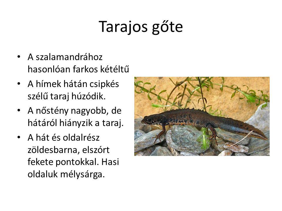 Tarajos gőte A szalamandrához hasonlóan farkos kétéltű A hímek hátán csipkés szélű taraj húzódik.