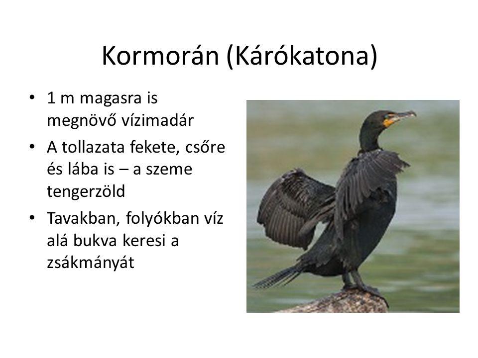 Kormorán (Kárókatona) 1 m magasra is megnövő vízimadár A tollazata fekete, csőre és lába is – a szeme tengerzöld Tavakban, folyókban víz alá bukva keresi a zsákmányát