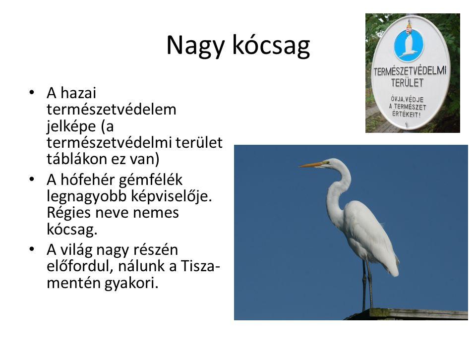 Nagy kócsag A hazai természetvédelem jelképe (a természetvédelmi terület táblákon ez van) A hófehér gémfélék legnagyobb képviselője.
