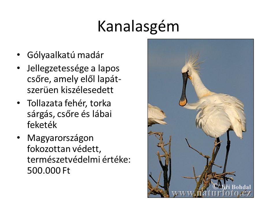 Kanalasgém Gólyaalkatú madár Jellegzetessége a lapos csőre, amely elől lapát- szerüen kiszélesedett Tollazata fehér, torka sárgás, csőre és lábai feketék Magyarországon fokozottan védett, természetvédelmi értéke: 500.000 Ft