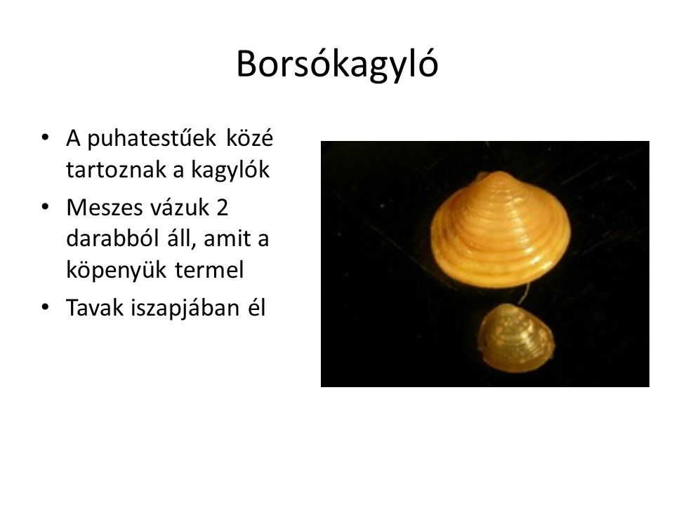 Borsókagyló A puhatestűek közé tartoznak a kagylók Meszes vázuk 2 darabból áll, amit a köpenyük termel Tavak iszapjában él