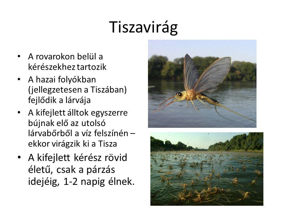 Tiszavirág A rovarokon belül a kérészekhez tartozik A hazai folyókban (jellegzetesen a Tiszában) fejlődik a lárvája A kifejlett álltok egyszerre bújnak elő az utolsó lárvabőrből a víz felszínén – ekkor virágzik ki a Tisza A kifejlett kérész rövid életű, csak a párzás idejéig, 1-2 napig élnek.