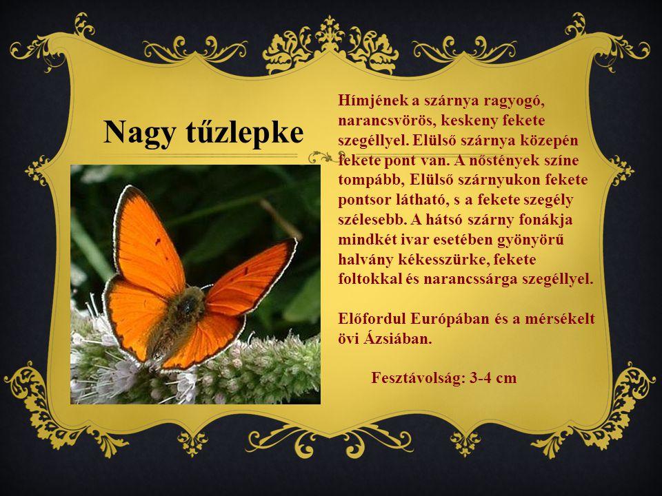 Hímjének a szárnya ragyogó, narancsvörös, keskeny fekete szegéllyel.