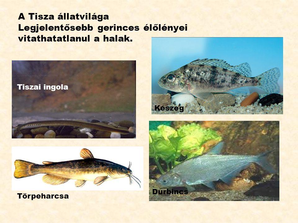 A Tisza állatvilága Legjelentősebb gerinces élőlényei vitathatatlanul a halak. Keszeg Durbincs Törpeharcsa Tiszai ingola