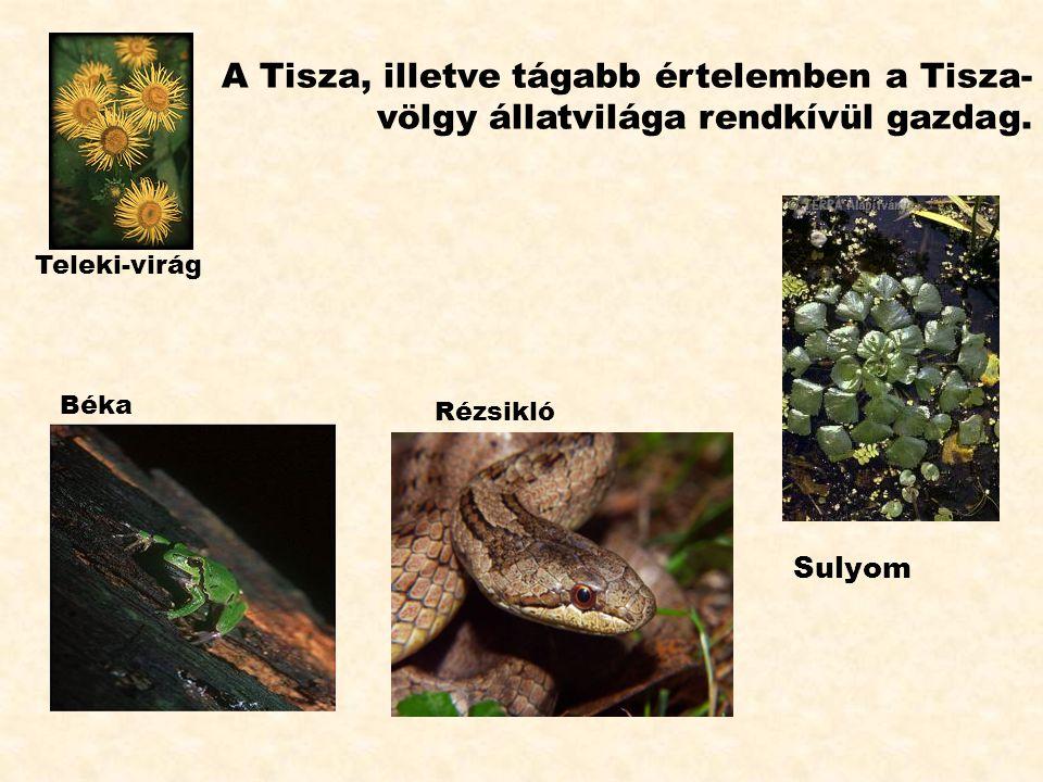 A Tisza, illetve tágabb értelemben a Tisza- völgy állatvilága rendkívül gazdag. Sulyom Rézsikló Teleki-virág Béka