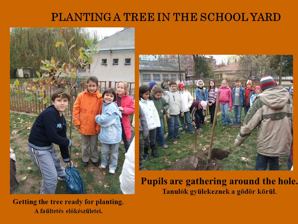 PLANTING A TREE IN THE SCHOOL YARD Getting the tree ready for planting. A faültetés előkészületei. Pupils are gathering around the hole. Tanulók gyüle