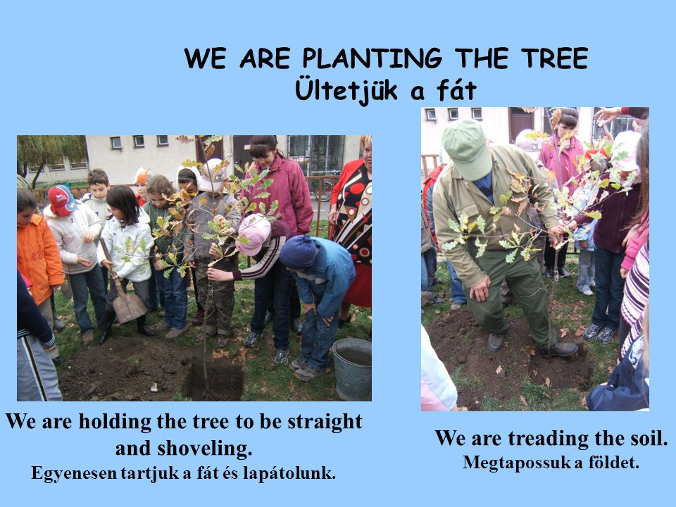 WE ARE PLANTING THE TREE Ültetjük a fát We are holding the tree to be straight and shoveling. Egyenesen tartjuk a fát és lapátolunk. We are treading t