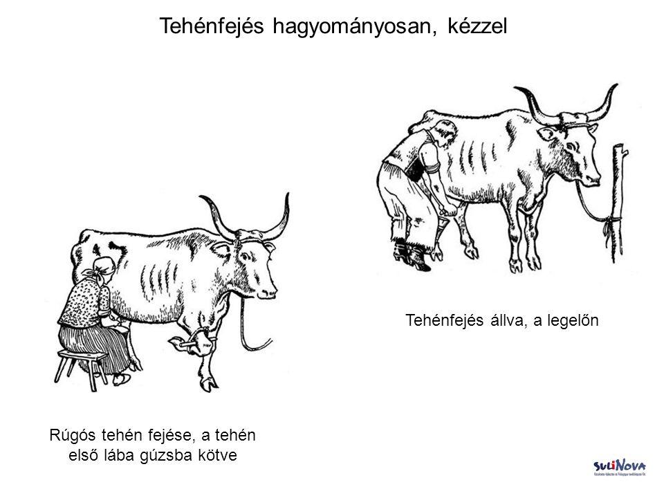 Tehénfejés hagyományosan, kézzel Tehénfejés állva, a legelőn Rúgós tehén fejése, a tehén első lába gúzsba kötve