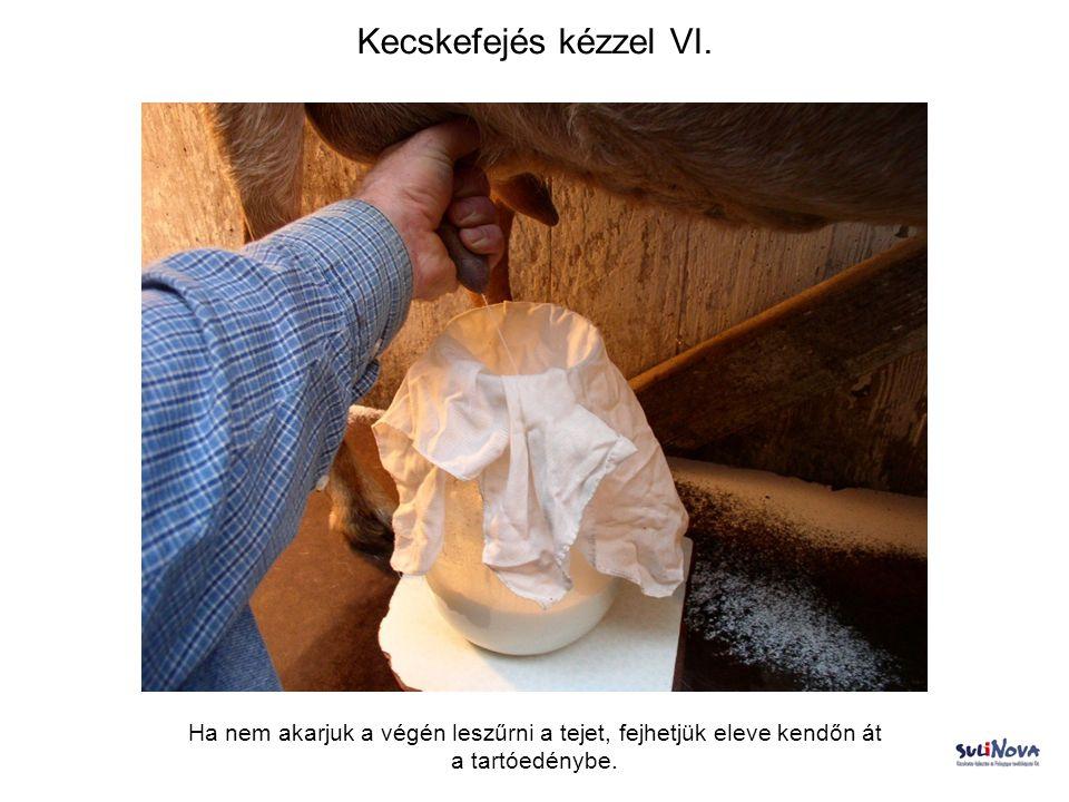 Kecskefejés kézzel VI. Ha nem akarjuk a végén leszűrni a tejet, fejhetjük eleve kendőn át a tartóedénybe.