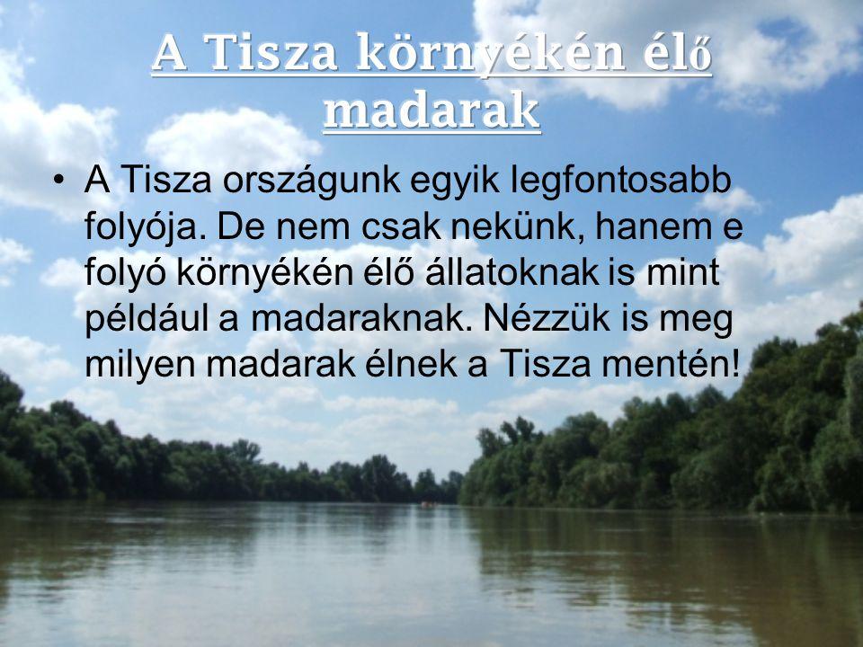 A Tisza országunk egyik legfontosabb folyója. De nem csak nekünk, hanem e folyó környékén élő állatoknak is mint például a madaraknak. Nézzük is meg m