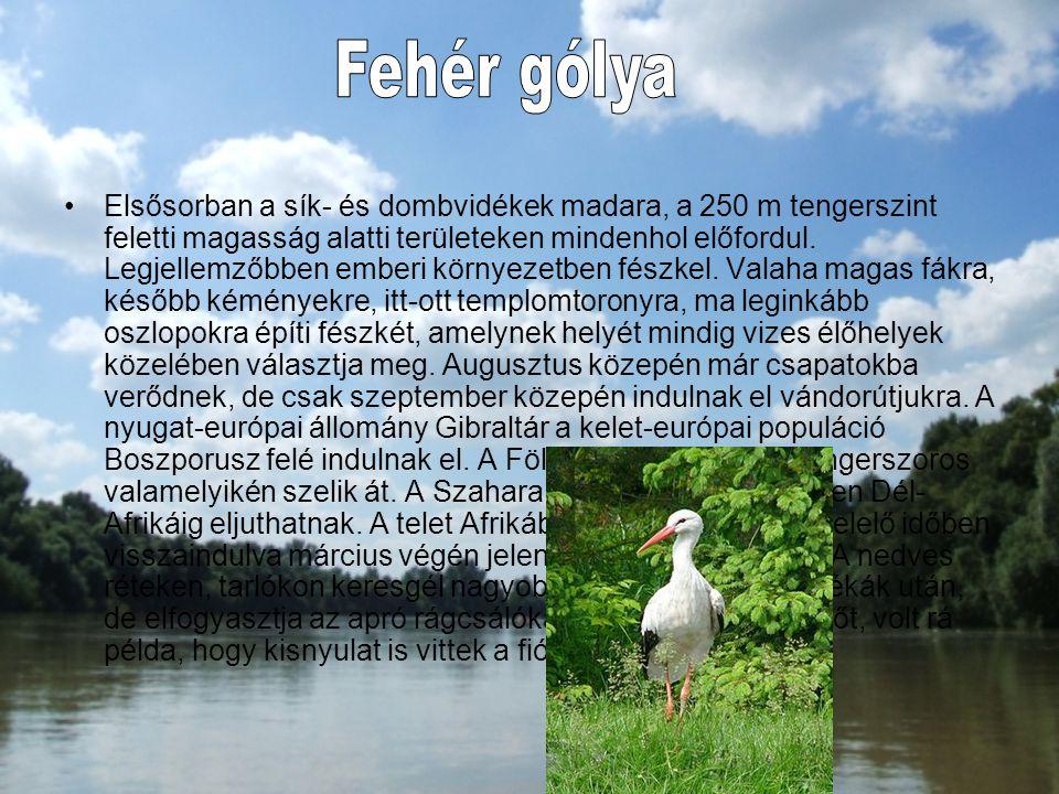 Elsősorban a sík- és dombvidékek madara, a 250 m tengerszint feletti magasság alatti területeken mindenhol előfordul. Legjellemzőbben emberi környezet