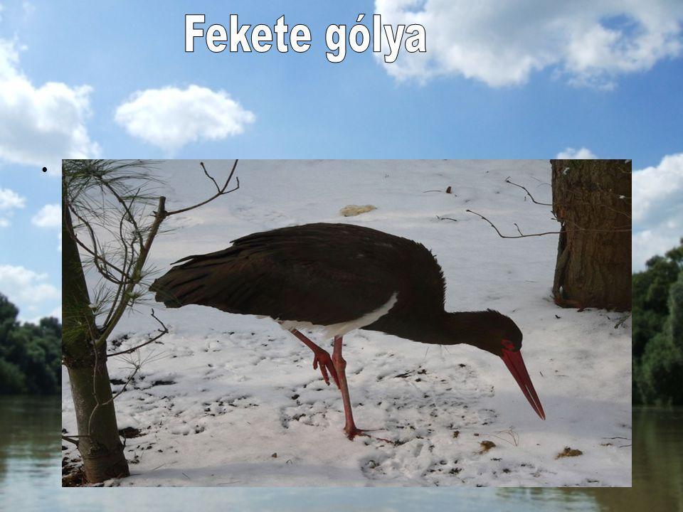 Magyarországon kis állománya él, költ a Hanságban, a Vendvidéken, az Őrségben és a Szigetközben, a Felső-Tisza vidékén, a folyókat kísérő erdőkben. Mé
