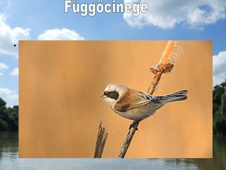 A függőcinege a verébalakúak rendjébe, ezen belül a függőcinege-félék családjába tartozó madárfaj. Nevével ellentétben nem közelebbi rokona a valódi c