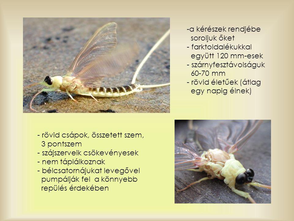 - rövid csápok, összetett szem, 3 pontszem - szájszerveik csökevényesek - nem táplálkoznak - bélcsatornájukat levegővel pumpálják fel a könnyebb repül
