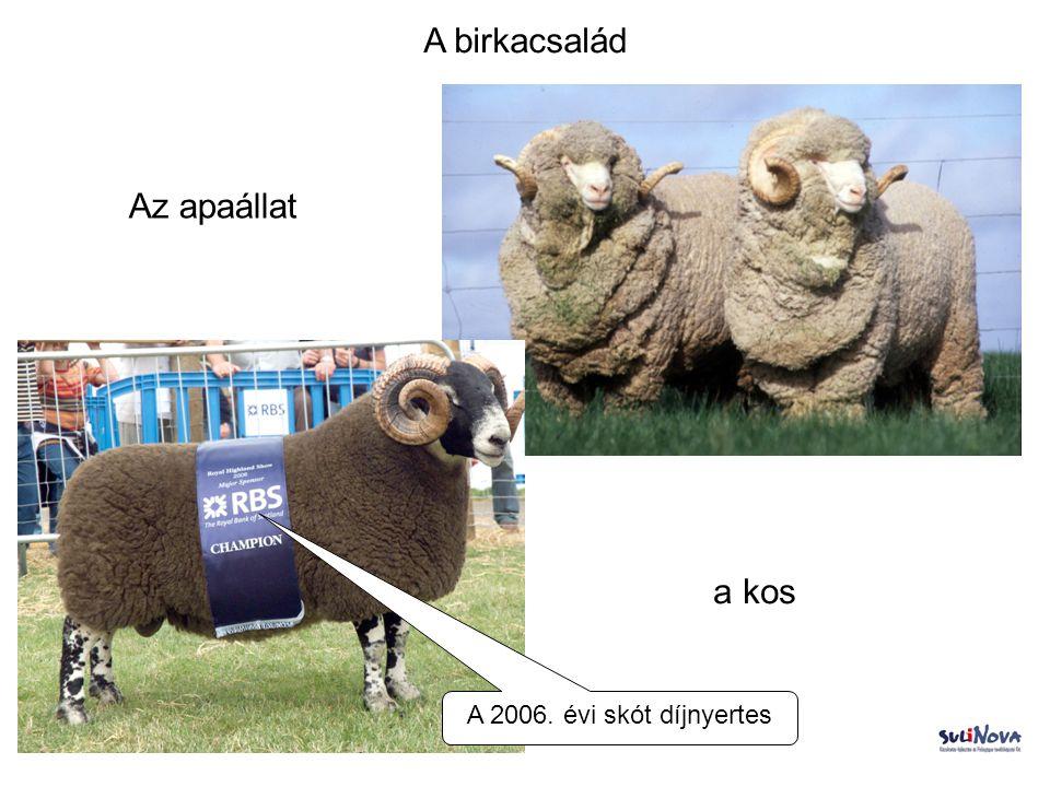 A birkacsalád Az apaállat a kos A 2006. évi skót díjnyertes