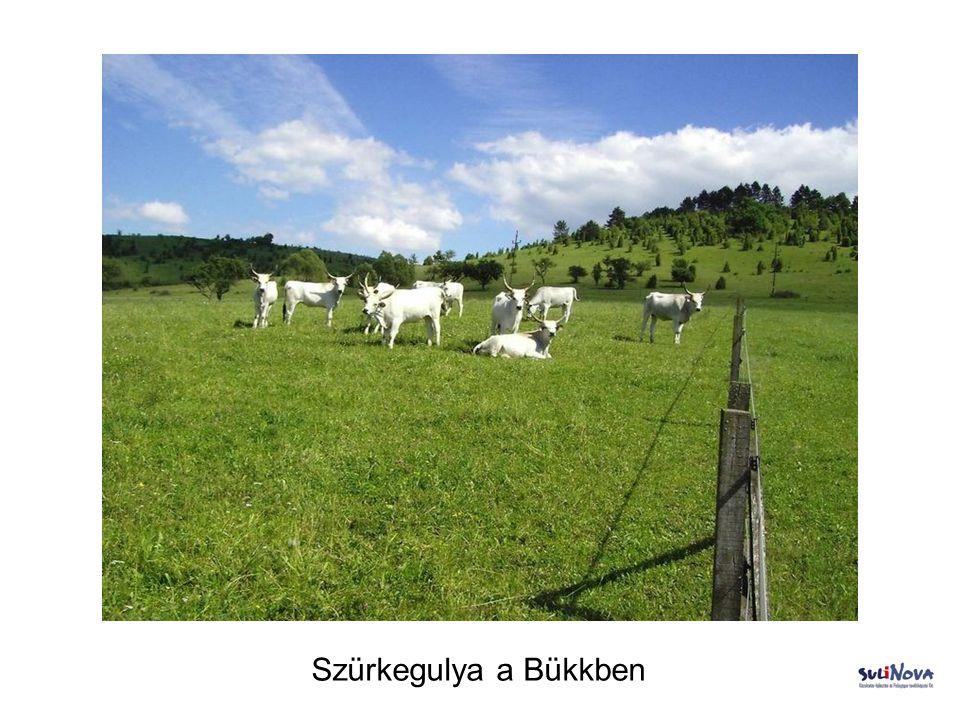 Szürkegulya alföldi legelőn