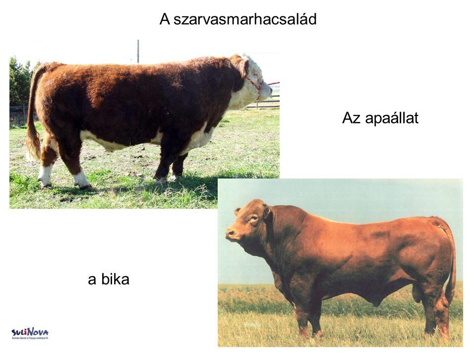 A szarvasmarhacsalád a bika Az apaállat