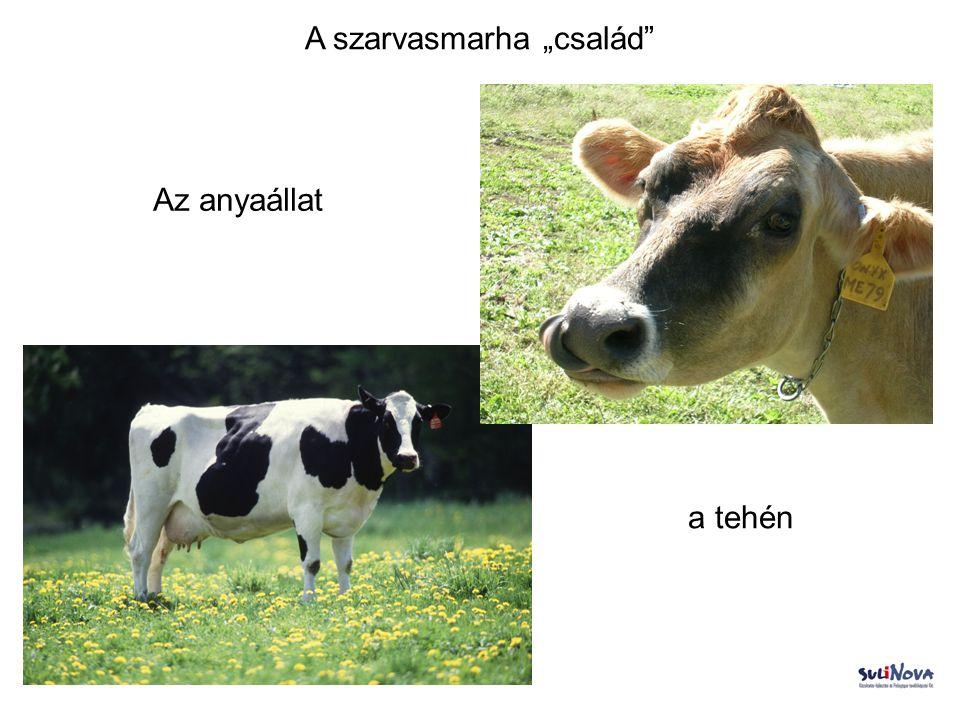 """A szarvasmarha """"család"""" a tehén Az anyaállat"""