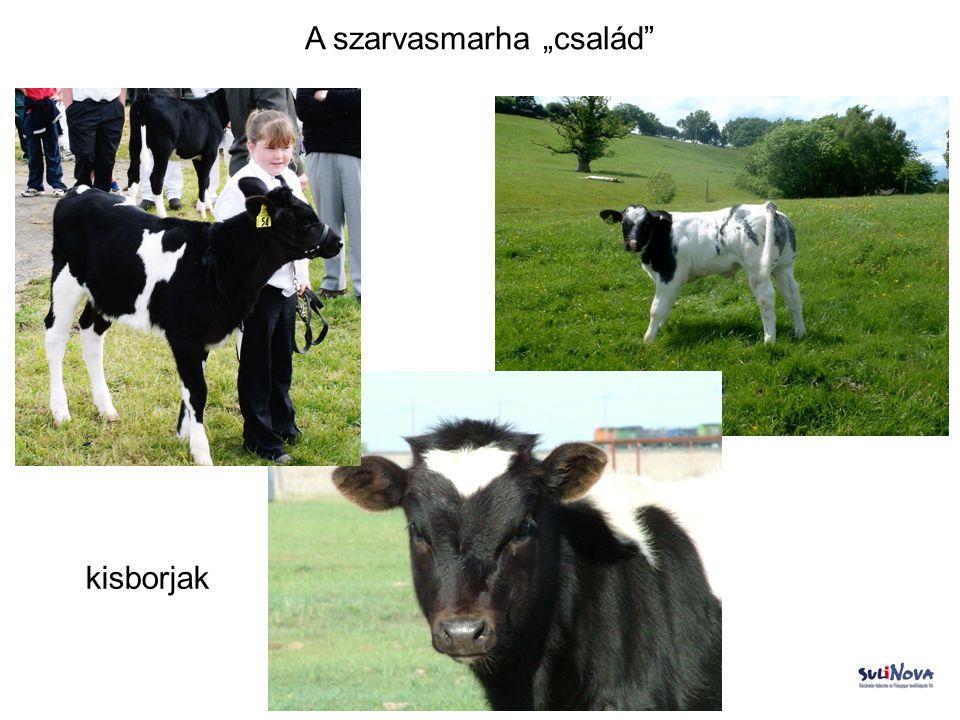 """A szarvasmarha """"család Borját szoptató tehén"""
