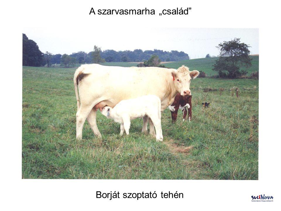 """A szarvasmarha """"család"""" Borját szoptató tehén"""