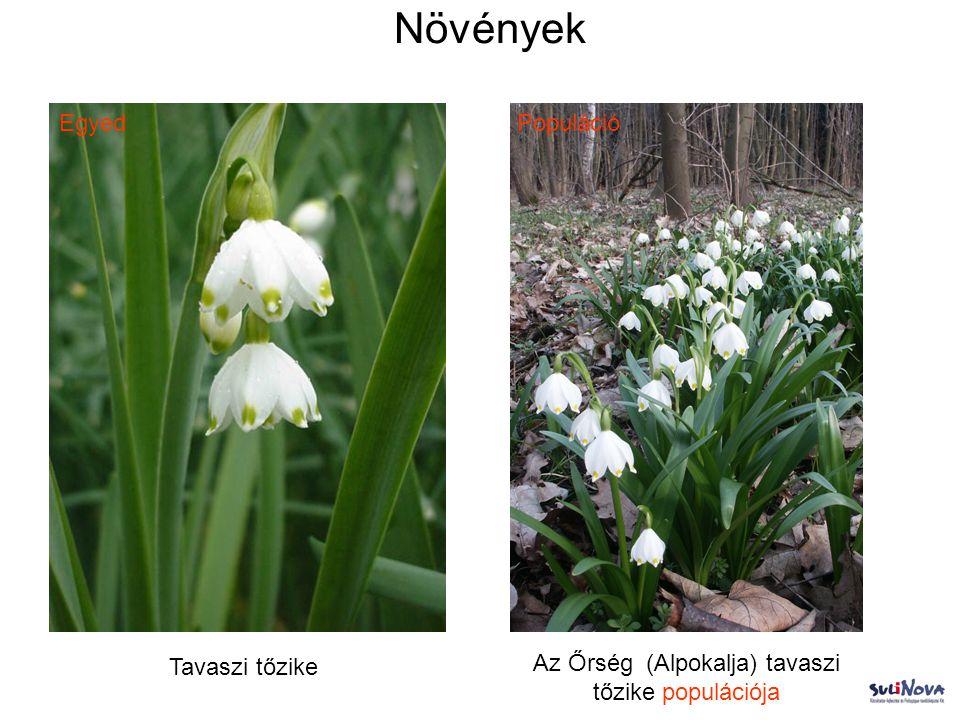 Növények Tavaszi tőzike Az Őrség (Alpokalja) tavaszi tőzike populációja EgyedPopuláció