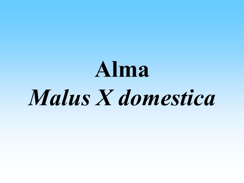 Alma ( Malus X domestica ) Ökológiai igénye Hőmérséklet: évi középhőmérséklet: 9-10 o C, a vegetáció alatt 18-19 o C, -20 o C alatti hőmérsékleten károsodnak a szállító edények.