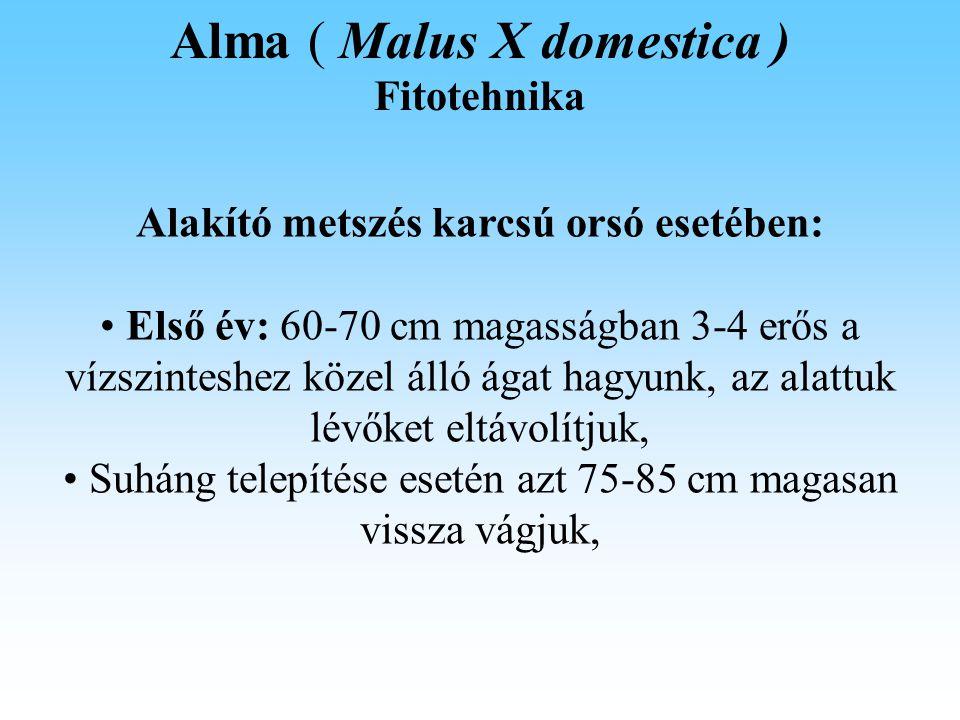 Alma ( Malus X domestica ) Fitotehnika Alakító metszés karcsú orsó esetében: Első év: 60-70 cm magasságban 3-4 erős a vízszinteshez közel álló ágat hagyunk, az alattuk lévőket eltávolítjuk, Suháng telepítése esetén azt 75-85 cm magasan vissza vágjuk,