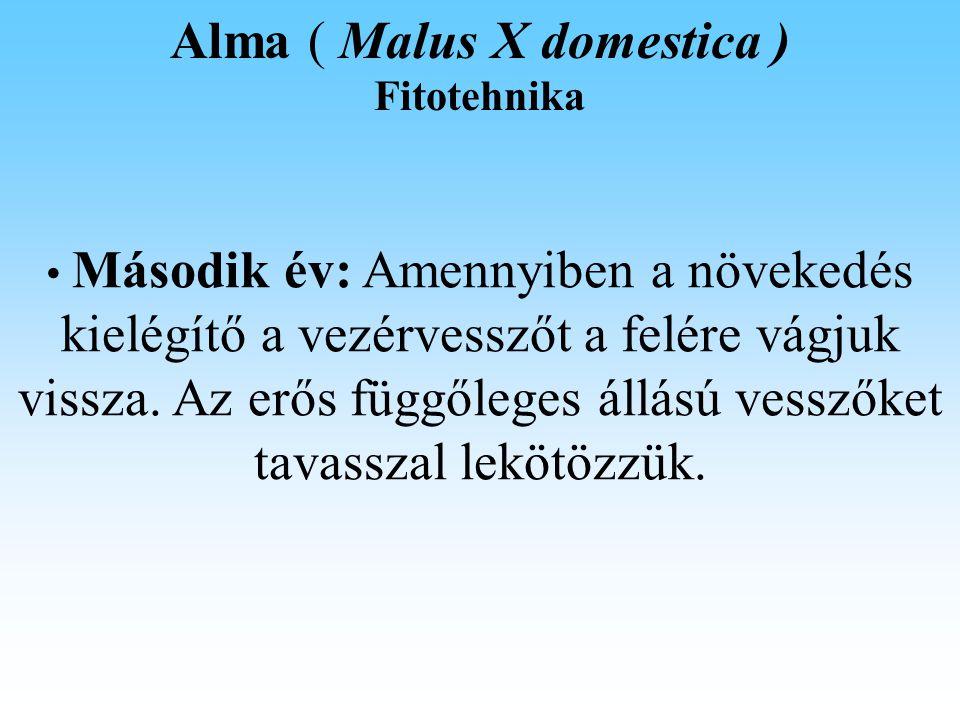 Alma ( Malus X domestica ) Fitotehnika Második év: Amennyiben a növekedés kielégítő a vezérvesszőt a felére vágjuk vissza.