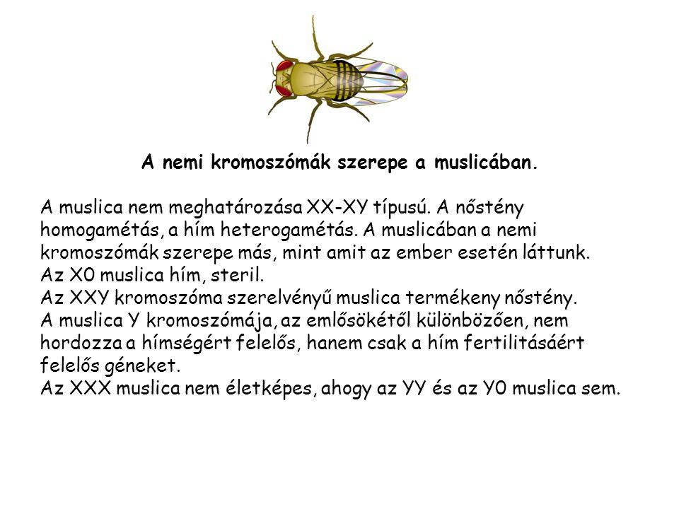 A nemi kromoszómák szerepe a muslicában.A muslica nem meghatározása XX-XY típusú.