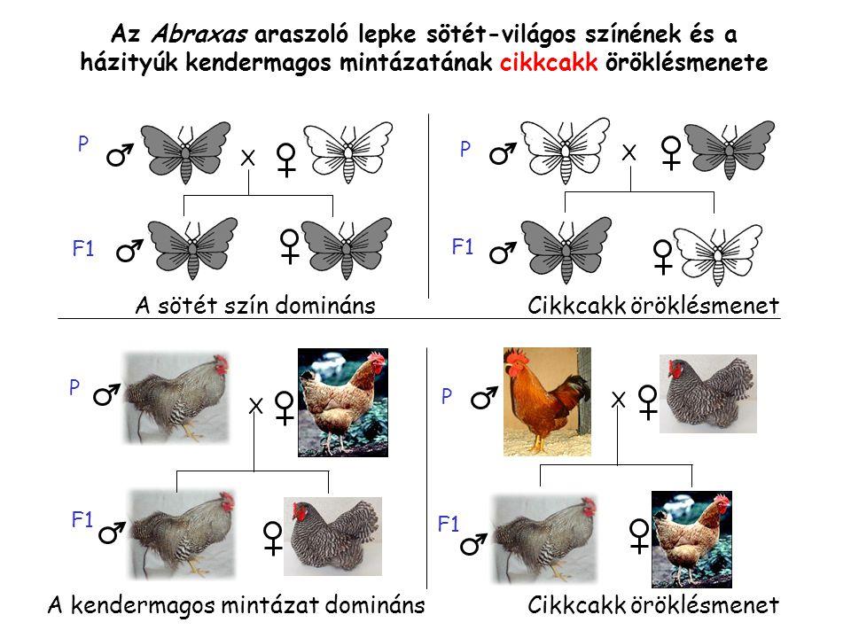 Az Abraxas araszoló lepke sötét-világos színének és a házityúk kendermagos mintázatának cikkcakk öröklésmenete X P F1 P X X X P P A sötét szín dominánsCikkcakk öröklésmenet A kendermagos mintázat domináns