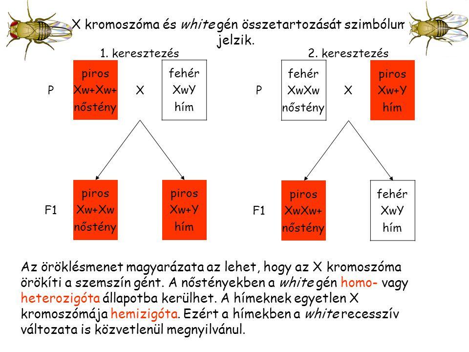1.keresztezés P piros Xw+Xw+ nőstény X fehér XwY hím F1 piros Xw+Xw nőstény piros Xw+Y hím 2.