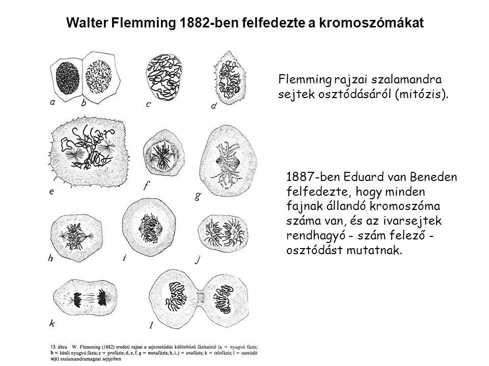 Walter Flemming 1882-ben felfedezte a kromoszómákat 1887-ben Eduard van Beneden felfedezte, hogy minden fajnak állandó kromoszóma száma van, és az ivarsejtek rendhagyó - szám felező - osztódást mutatnak.