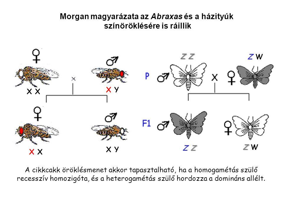 Morgan magyarázata az Abraxas és a házityúk színöröklésére is ráillik X X Y X X Y Z Z Z W ZZ ZZZ Z Z Z W A cikkcakk öröklésmenet akkor tapasztalható, ha a homogamétás szülő recesszív homozigóta, és a heterogamétás szülő hordozza a domináns allélt.