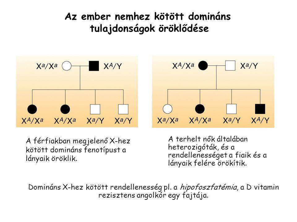 A férfiakban megjelenő X-hez kötött domináns fenotípust a lányaik öröklik.