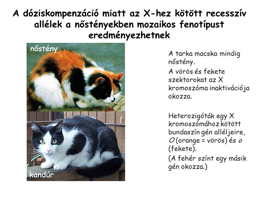 A tarka macska mindig nőstény.A vörös és fekete szektorokat az X kromoszóma inaktivációja okozza.