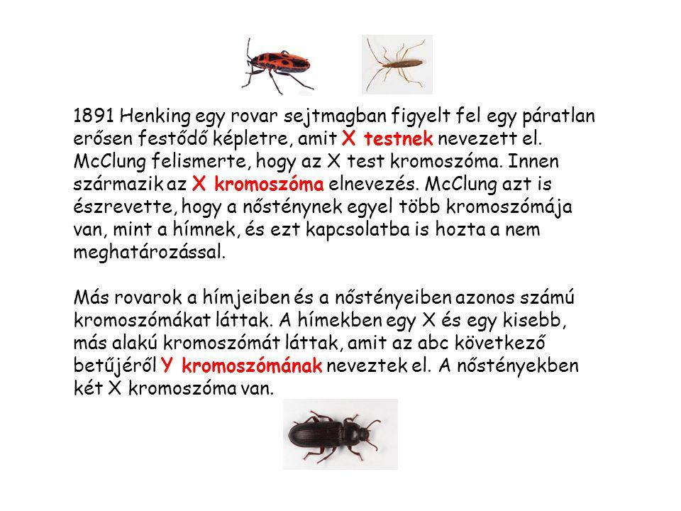 1891 Henking egy rovar sejtmagban figyelt fel egy páratlan erősen festődő képletre, amit X testnek nevezett el.