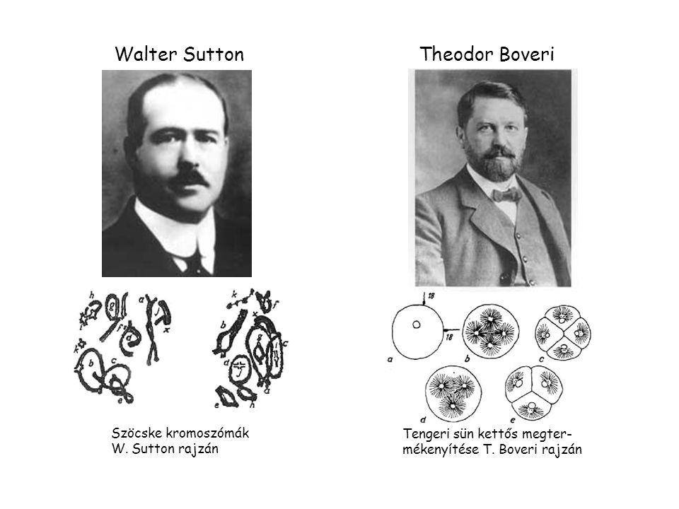 Szöcske kromoszómák W.Sutton rajzán Walter Sutton Tengeri sün kettős megter- mékenyítése T.
