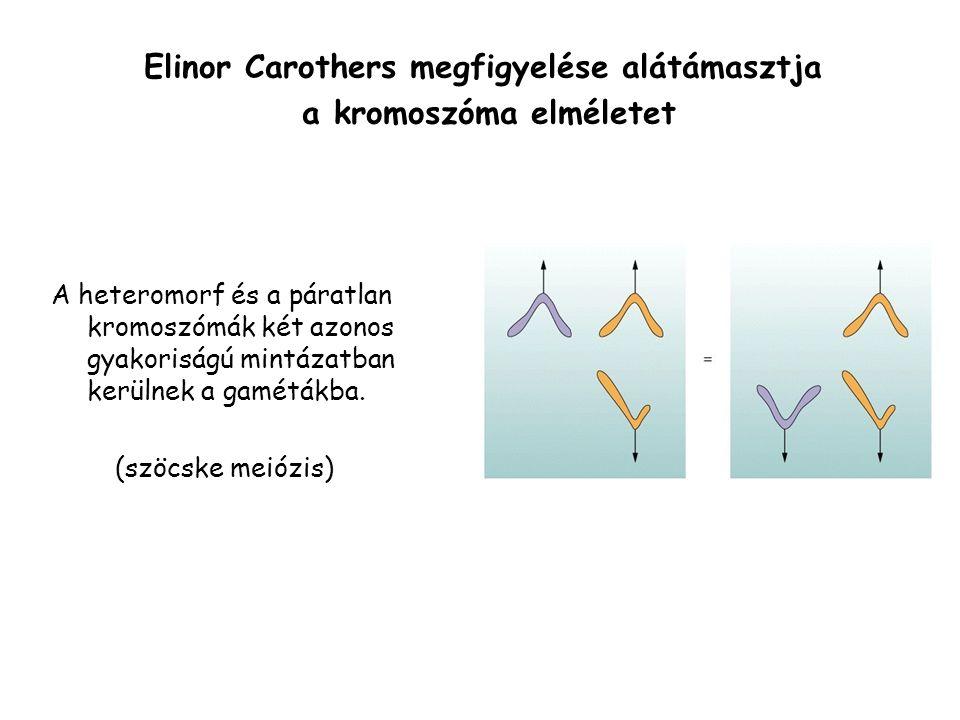 A heteromorf és a páratlan kromoszómák két azonos gyakoriságú mintázatban kerülnek a gamétákba.