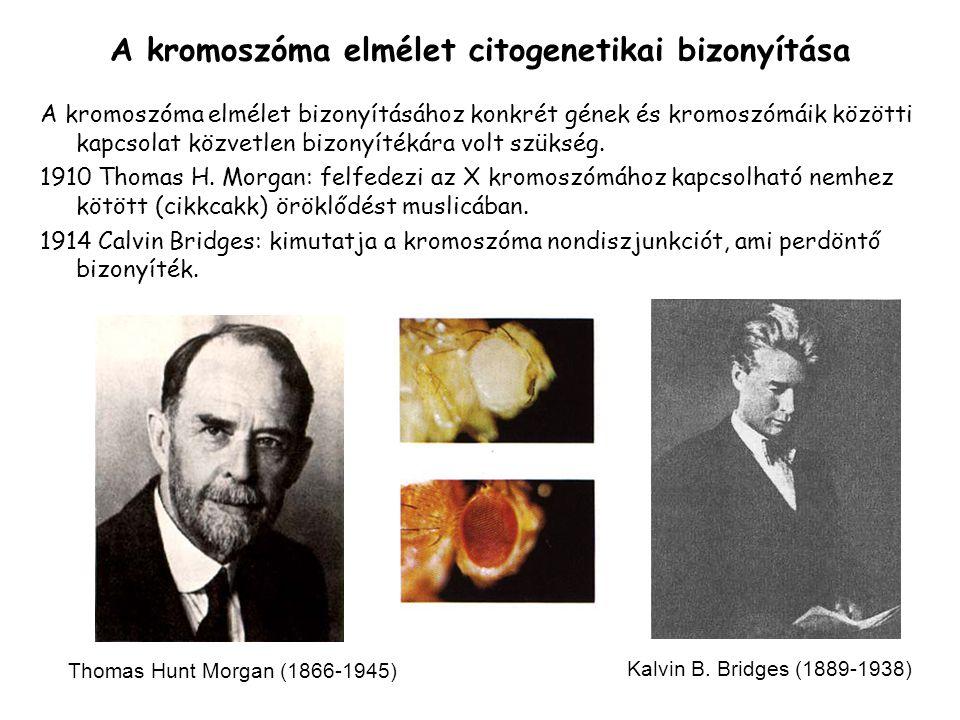 A kromoszóma elmélet citogenetikai bizonyítása A kromoszóma elmélet bizonyításához konkrét gének és kromoszómáik közötti kapcsolat közvetlen bizonyítékára volt szükség.