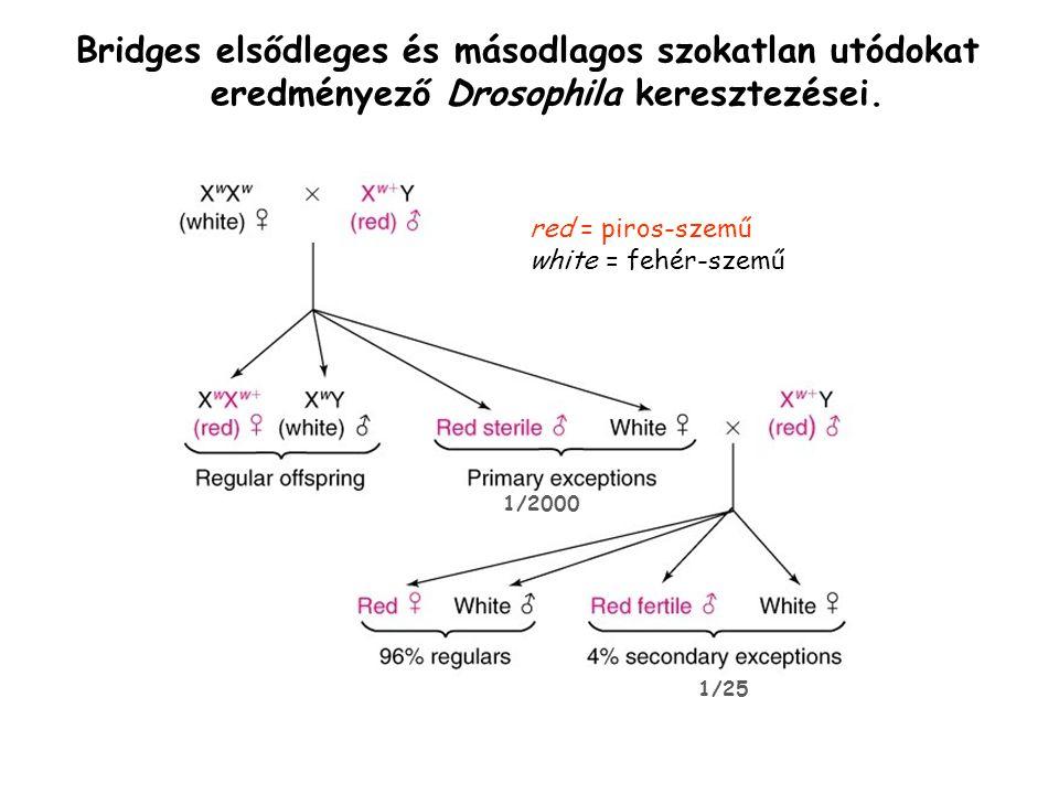 Bridges elsődleges és másodlagos szokatlan utódokat eredményező Drosophila keresztezései.