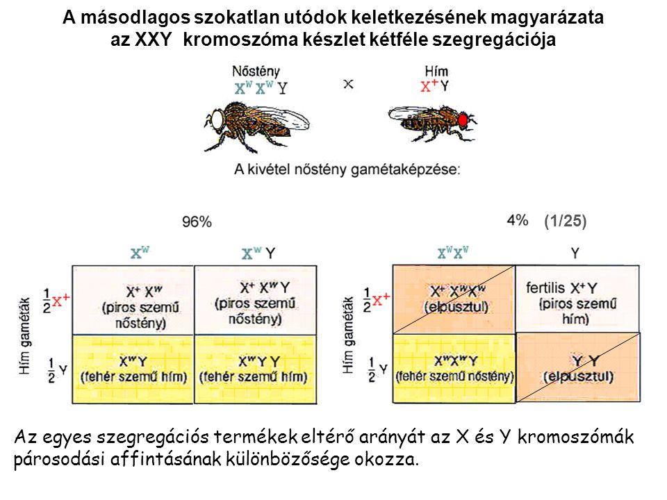A másodlagos szokatlan utódok keletkezésének magyarázata az XXY kromoszóma készlet kétféle szegregációja (1/25) Az egyes szegregációs termékek eltérő arányát az X és Y kromoszómák párosodási affintásának különbözősége okozza.